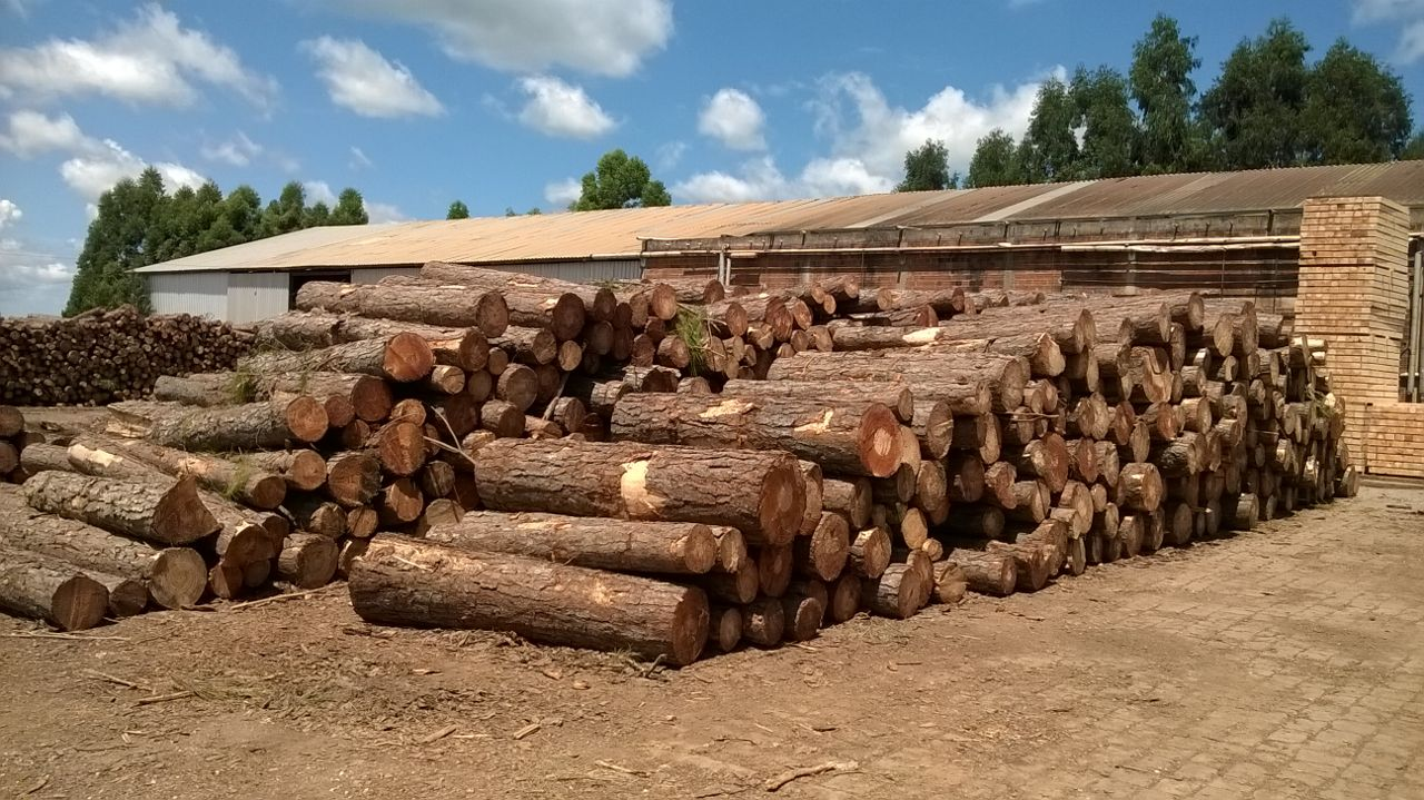 Pine logs Brasil 3